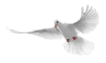 White-Doves
